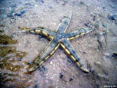 這是在海下可以找到的同類形海星。