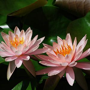 陽光下的蓮花與葉子