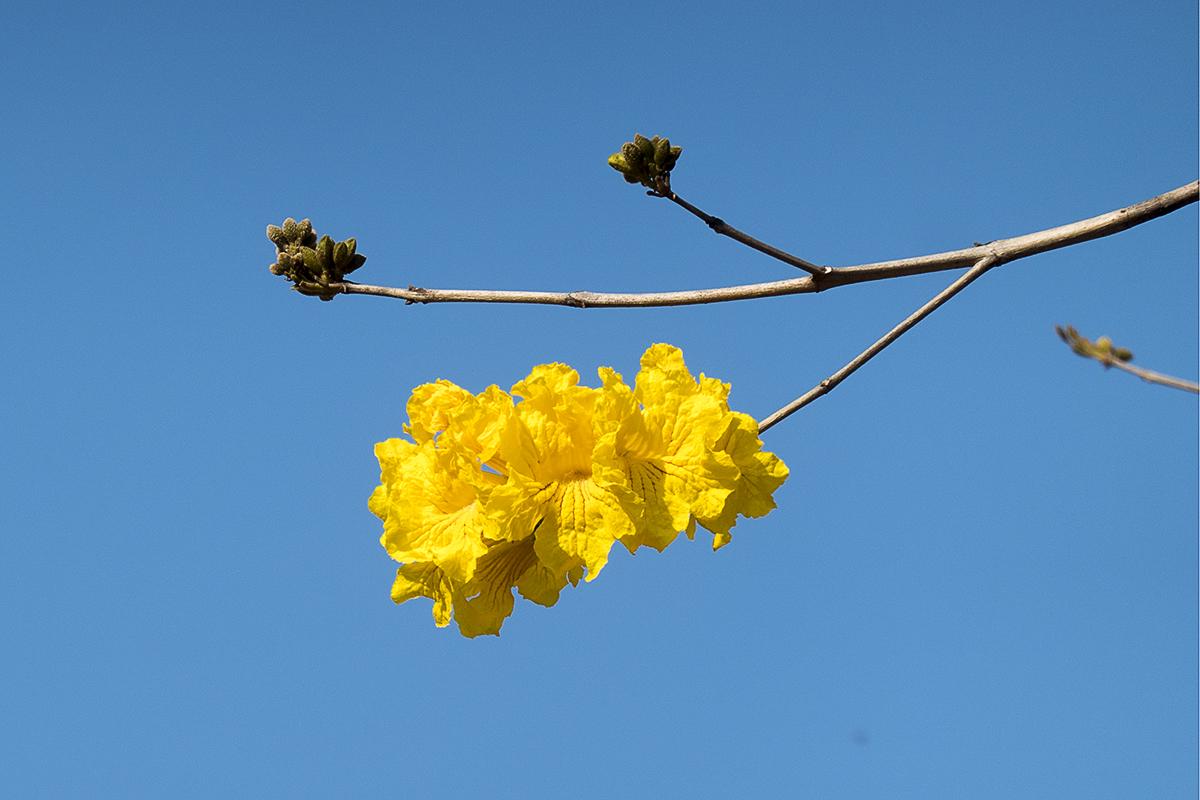 不是最盛的2021黃花風鈴木